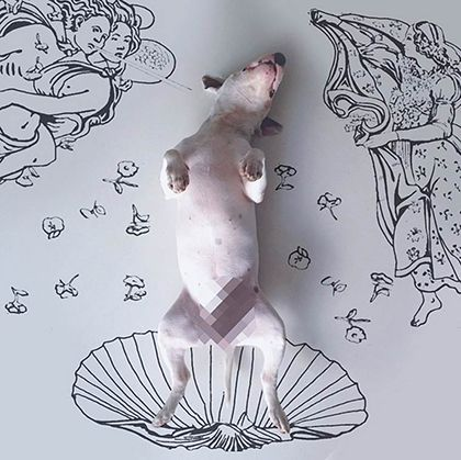 rafael mantesso instagram bull terrier 15
