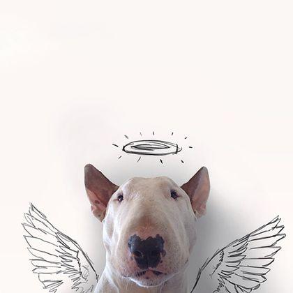 rafael mantesso instagram bull terrier 17