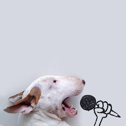 rafael mantesso instagram bull terrier 18