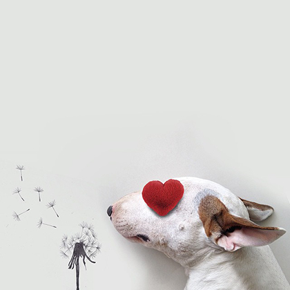 rafael mantesso instagram bull terrier 27
