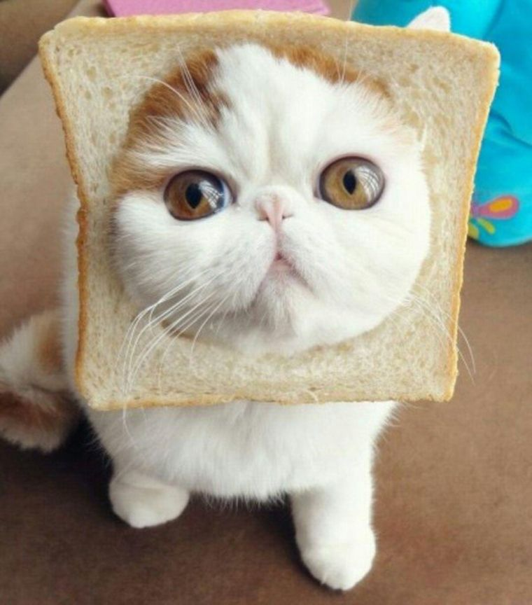 famous cat bread face