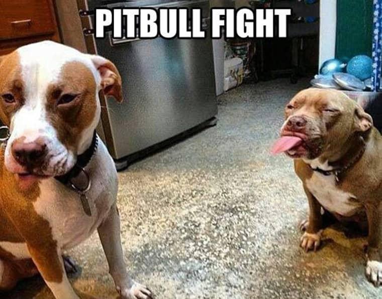 pitbull-combat