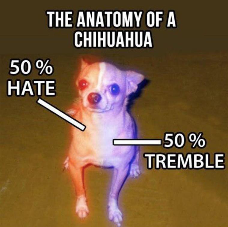 anatomie d un chihuahua