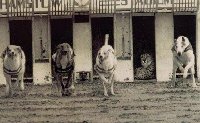 course de chien avec un leopard