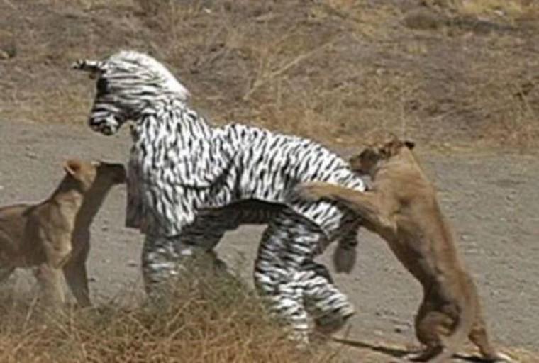 faux zebre et vrai lion