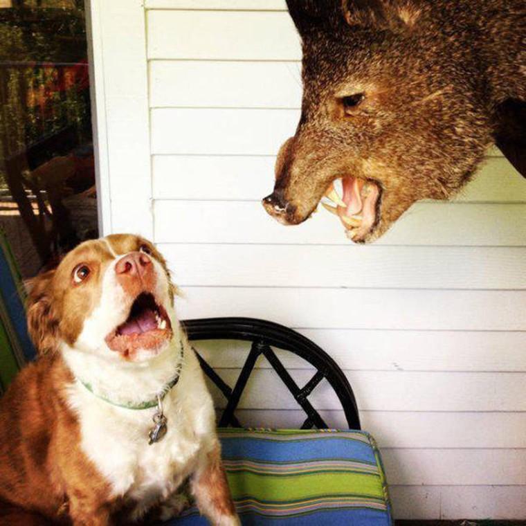 un chien peureux sanglier empaille