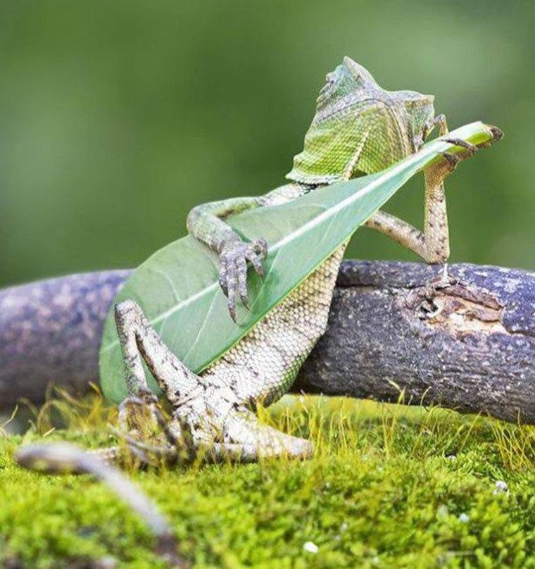 humour cameleon qui joue de la guitare