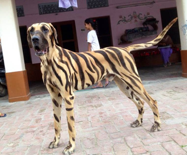 le chien tigre nouvel espece