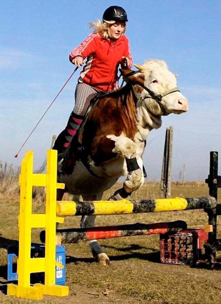 concours-saut-obstacle-vache