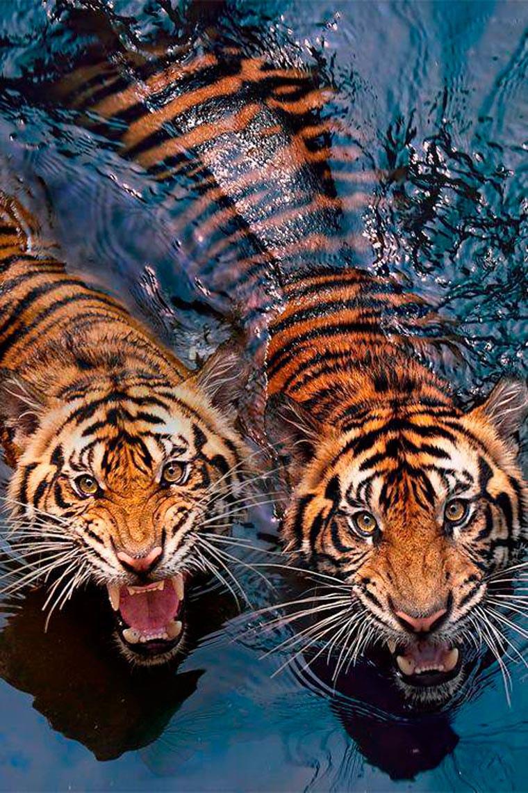 freres-tigres