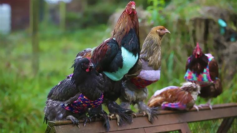 pulls et vetements pour poulet