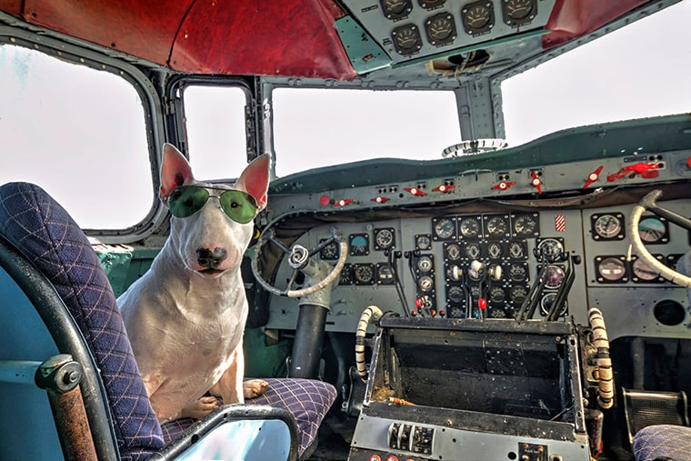 un-bullterrier-pilote-un-avion