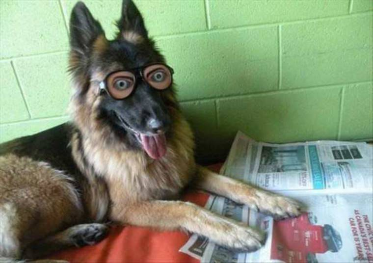 lunettes berger allemand
