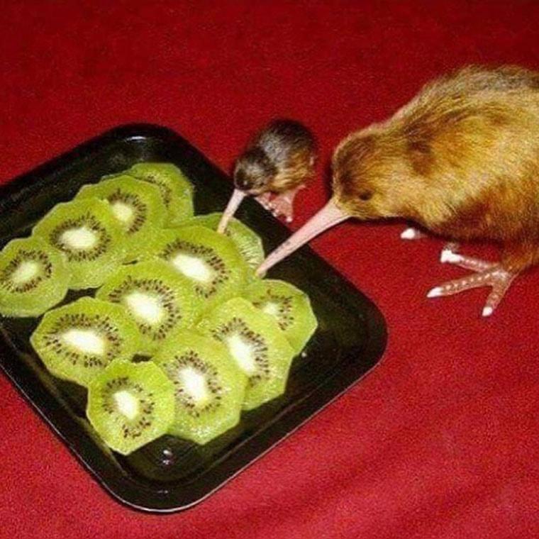 des kiwis mangeant des kiwis