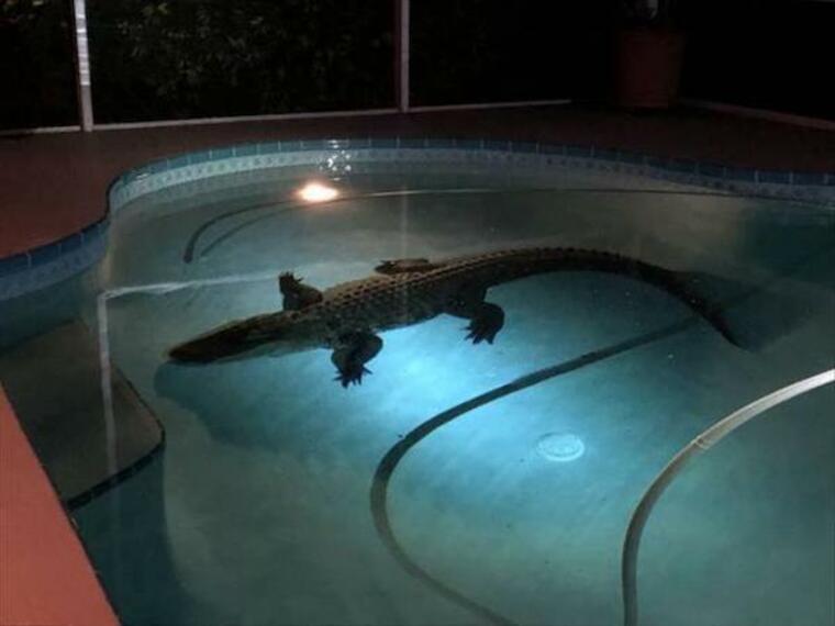 crocodile dans la piscine