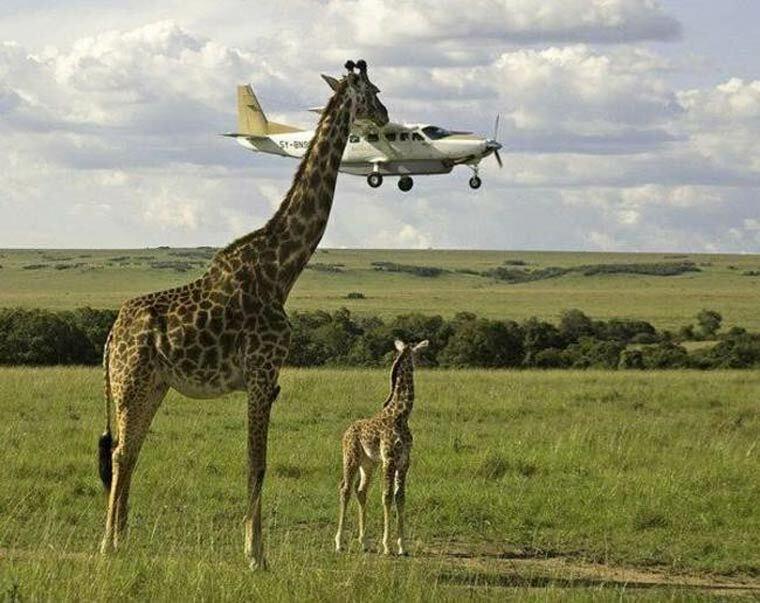 immense girafe