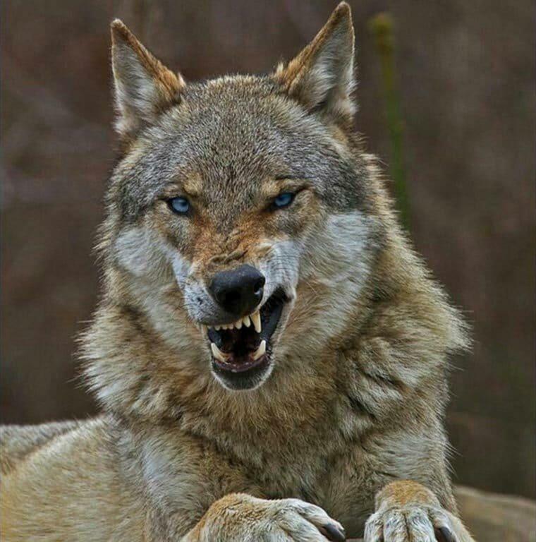 #Animal - Le loup qui grimace