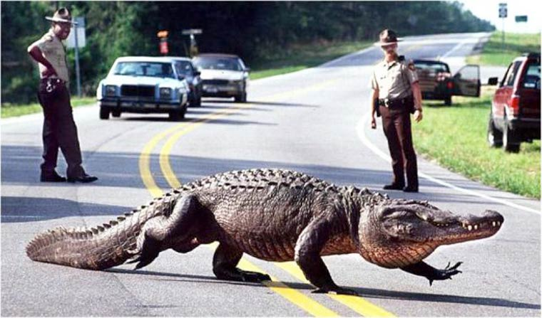 securite routiere attention crocodile